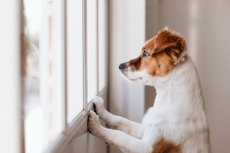 anxious dog looking out window waiting on owner
