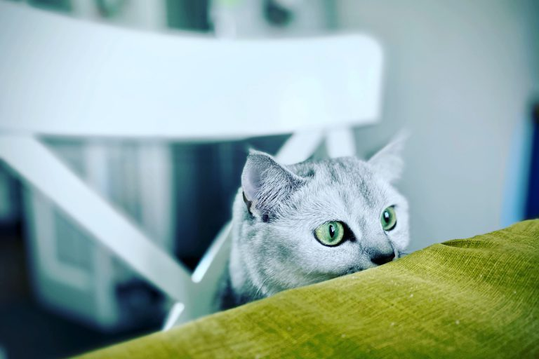 scared cat with green eyes peaking over table edge